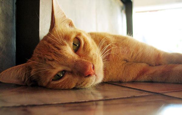 Тайские сиамские кошки