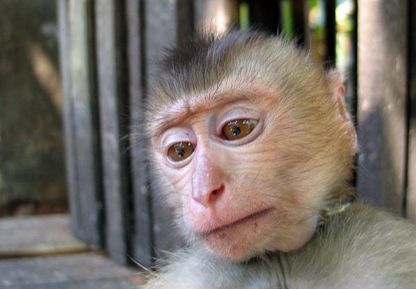 Приколы с обезьянами, бесплатные фото ...: pictures11.ru/prikoly-s-obezyanami.html